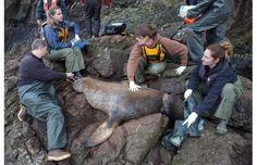 Photos: Vancouver Aquarium team saves sea lions tangled in marine debris