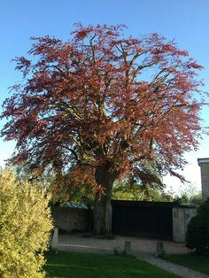Superb mature Copper Beech just after all round crown reduction/thinning, Corsham, Wiltshire.