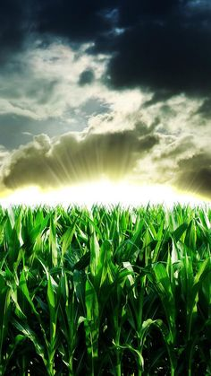 Nature Corn Field Sunshine Through Storm Skyscape