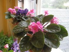 Violets: How to Achieve Constant Bloom Giving African Violets everything they need.Giving African Violets everything they need. Garden Plants, Indoor Plants, House Plants, Indoor Gardening, Air Plants, Cactus Plants, Indoor Herbs, Indoor Flowers, Potted Plants