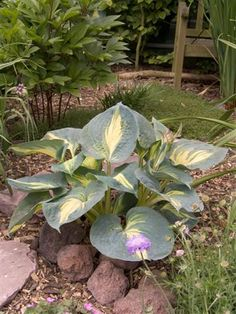 Hosta 'Dream Weaver'. Another hosta I had in my Calgary garden that I never saw mature. It is certainly worth trying to track down again.