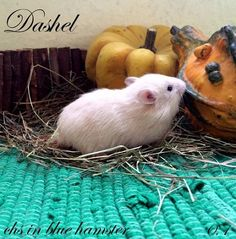 Dashel chs in blue hamster Blue, Animals, Animales, Animaux, Animal Memes, Animal, Animais, Dieren