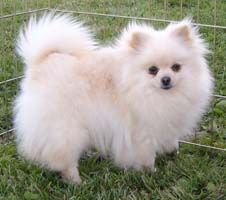 Marvelous Pomeranian Does Your Dog Measure Up and Does It Matter Characteristics. All About Pomeranian Does Your Dog Measure Up and Does It Matter Characteristics. Pomeranian Puppy, Chihuahua, Lap Dogs, Dogs And Puppies, Corgi Puppies, I Love Dogs, Cute Dogs, Pets, Dogs