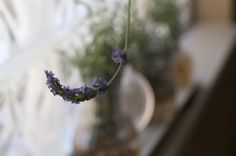 Propagating Lavender-  better than throwing out the cuttings ;)