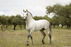 Andalusian pure Spanish horse.- just gorgeous and regal