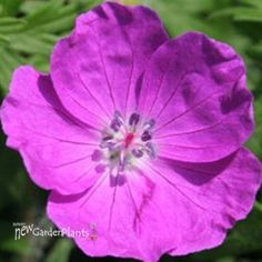 'New Hampshire Purple' Hardy Geranium   Bloody Cranesbill ~ Magenta-purple flowers cover the compact spreading mounds; Leaves turn brillant crimson-red in fall; zones 5-8