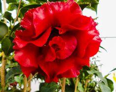 Camellia 'Black Magic'