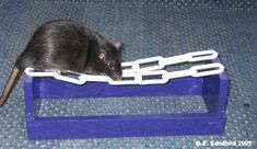 DIY Rat Agility Chain Walk. would be fun for gerbil agility.  not for use in the cage for only undersupervision in the playpen since it has plastic.