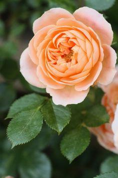 Sunset Memory:  English Shrub Rose
