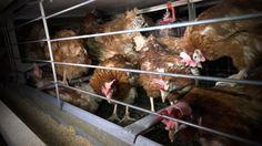 L214 rend publiques ce mercredi les images choquantes d'un élevage industriel de 200 000 poules élevées en cages, produisant des œufs pour la marque Matines et