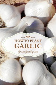 How to Plant Garlic in Fall | Grow a Good Life
