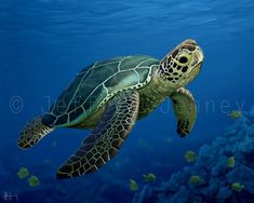 Green Sea Turtle - 8x10 Fine Art Print From An Original Painting By Jeffrey Jenney - Ocean Art on Etsy, $25.00