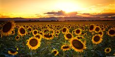 """""""Evenings Of Augusts Past"""" - The sun begins to set over the front range of the Colorado Rocky Mountains as the Sunflowers begin to kiss the day goodbye"""