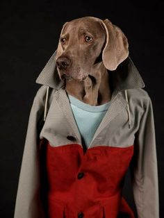 "Artist William Wegman captures his beautiful dog for ""The Dog Issue"" of Man About Town Barking Mad, with styling by Samuel François. William Wegman, Puppy Pictures, Dog Photos, Funny Dogs, Cute Dogs, Man About Town, Contemporary Photographers, Weimaraner, Dogs Of The World"