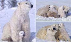 Makes your heart melt, doesn't it?:  Playful polar bears have fun with mum as they frolic in the snow