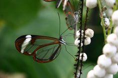 Fotos impressionantes da borboleta transparente 09