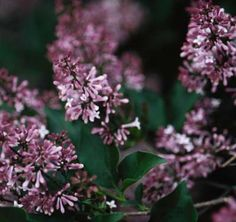 MIss Kim  The shrub will grow between 6 to 8 feet in height, but can easily be kept trimmed at 4 feet. This plant does very well in the southern United States, where other lilacs have difficulty. Anyone looking for a solid foundation to a new landscape design should definitely consider this durable and charismatic plant.   Plant several Miss Kim Lilacs for a fragrance you can smell from a distance.