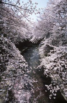 Cherry tree full bloom #Shakujii River #Tokyo#Japan