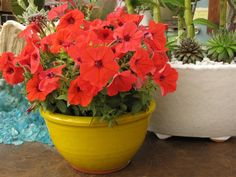 The HOTTEST new ANNUALS for your 2012 garden! - By Plants Unlimited - Belfast - Waldo - Republican Journal