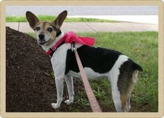 Lilly, is an 10 year old Rat Terrier who is good with other dogs, cats and kids. She is spayed and up to date on age appropriate vaccines.     Lilly's favorite pastime is doggy napping, next to going for a walk and talking to you about it. She is great on leash. She is house and crate trained. Her ideal home would be one where she can have quiet time laying by your side along with a brisk walk once a day.