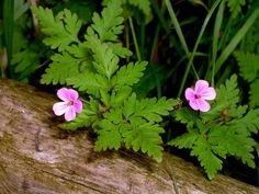 herb robert - Google Search