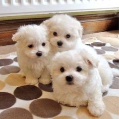 We have the best quality of puppies you can ever imagine we raised them in good manners they are akc reg vet checked potty trained they love to play with kids and other house pets hold they will Maltese Puppies For Sale, White Puppies, Maltese Dogs, Dogs And Puppies, Pet Dogs For Sale, Teacup Maltese, Animals For Kids, Animals And Pets, Baby Animals