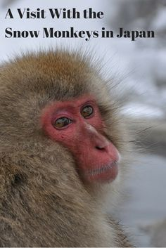Photos and story of our day visiting the Japanese snow monkeys at Jigokudani Yaen Kōen (aka Jigokudani Snow Monkey Park) near Nagano, Japan.
