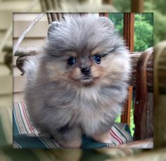 Blue Merle Pomeranian Puppies Photos                                                                                                                                                                                 More