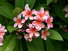 """Also called """"Frangipani."""" A subtropical or tropical flower related to oleander. Its flowers are softly fragrant at daytime and intensifies at night. Its other names are yasmin & champa. Tropical Flowers, Hawaiian Flowers, Tropical Garden, Exotic Flowers, Pink Flowers, Beautiful Flowers, Hawaiian Leis, Tropical Colors, Flores Plumeria"""