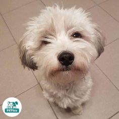 That look 😍 @roko.havanese  #PETica or tag us to be a part of our beautiful pet photo gallery  *  *  *  *  *  #petstagram #dogstagram #dogsofinstagram #bichon #havanese #bichonhavanese #cute #puppy #croatia #croatiafullofdogs #dogsofzagreb #crostagram #havaneseoftheworld #dogscorner #puppytales #mydogiscutest #worldofcutepets #cutepetclub #zagrebpets #spring #ljubimci #ljubimac #mezimci #mezimac #kucniljubimci #kucniljubimci