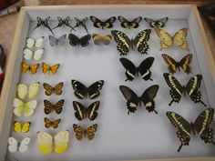 HOW TO: Pin a Butterfly | BEYONDbones