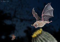 Leaf-nosed bat chasing a moth ~ Digital art done by Psithyrus on deviantart.com