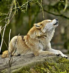 beautiful-wildlife: Wolf by U-L-U