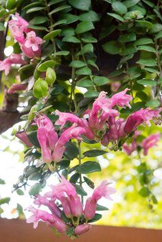 Pink Lipstick Plant (Aeschynanthus radicans)