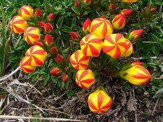 Flor da espécie 'Gentianella hirculus', endêmica do Equador. É considerada em risco de extinção devido pastoreio sem controle e muitas visitações ao parque onde a maioria das populações desta planta residem. Foto: Biologia-Vida