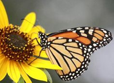 The Pollinator Partnership is a non-profit organization and the largest in the world dedicated exclusively to the protection and promotion of… Monarch Caterpillar, Overwintering, Blooming Plants, Public Garden, Monarch Butterfly, Native Plants, Lawn And Garden, Conservation, Habitats