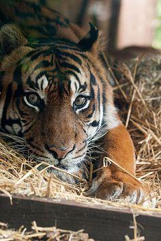 Sumatran Tiger at ZSL London Zoo by Sophie L. Miller on Flickr.