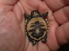 Baby Turtle. Oh my gosh I just wanna kiss him!