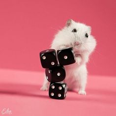 Dice Stacking Hamster- it's a talent. Baby Animals Pictures, Cute Baby Animals, Funny Animals, Funny Meme Pictures, Cute Pictures, Beautiful Creatures, Animals Beautiful, Baby Squirrel, Cute Hamsters