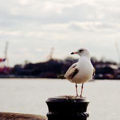 Gaivota // Seagull