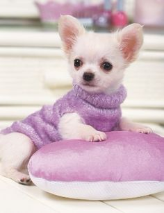 Chihuahua Clothes | chihuahua clothes #chihuahua #teacupchihuahua #chihuahuacolors