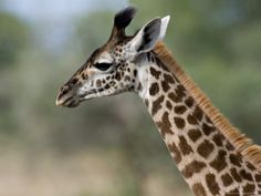 Close-up of Masai Giraffe, Tanzania