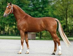 Dutch harness horse, or Tuigpaard, stallion Bakboord. A large-boned, high stepping, refined driving horse of the Netherlands. Strict selection by the KWPN results in it being as fine a warmblood for driving as KWPN warmbloods are for sport riding.