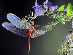 andyouwhisperyouloveme:  Dragonfly © jimmy hoffman  There is something so very magical in the iridescent wings of a dragonfly!   ~Charlotte (PixieWingsAndFairyWhispers)