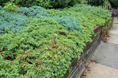 Blue and green juniper growing in a carpet in a garden bed with a wood retaining wall, with a sidewalk to the right. Winter Pansies, Wood Retaining Wall, Mushroom Grow Kit, Taxus Baccata, Stink Bugs, Japanese Beetles, Garden Bugs, Growing Mushrooms, Evergreen Shrubs