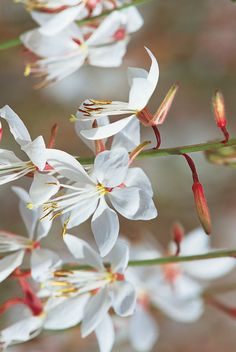 """Stratosphere White Gaura earned its nickname """"butterfly flower"""" from the way its small, butterfly-shaped flowers flutter in the breeze. Its wispy texture and movement is a delight in any full sun landscape. Butterfly Shape, White Butterfly, Butterfly Flowers, White Flowers, Paper Flowers, Beautiful Flowers Photos, Flower Photos, Small Flower Gardens, Flower Symbol"""