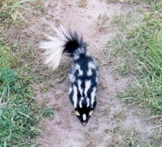 Spotted Skunk.Skunks (also called polecats in America) are known for their ability to spray a liquid with a strong odor. Appearances vary from black-and-white to brown or cream colored, but all have warning coloration.Skunks are omnivorous, eating both plant & animal material& changing their diets as the seasons change. They eat insects & larvae, earthworms, grubs, small rodents, lizards, salamanders, frogs, snakes, birds, moles, eggs, berries, roots, leaves, grasses, fungi, and nuts.
