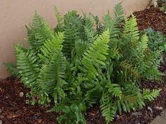polypodium californicum - Google Search