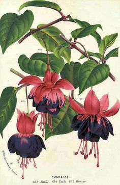 Louis van Houtte, botanical illustration, Fuchsias, 1877 Fuchsias grown alongside many of the rural roads of Ireland, blooming in abundance.