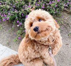 Those eyes shoot love straight at you. #poodle_playoffs #poodlesofficial #poodlestagram #doodleaday #pawsomepoodles #ig_dogphoto #poodlelover #east_dog_japan #poodlesofig #instapoodle #poodlegram #bestphotogram_dogs #bestfriends_dogs #picsofallanimals #showcasing_pets #pets_of_our_world #petoftoday #furrendsupclose #poshpamperedpets #elegant_cats #my_loving_pet #petbox #esa #doodledaily #doodlelover #minibernedoodle #doodsofinstagram #doodlenation #ilovemydoodle #minigoldendoodlepuppy